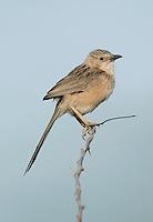 Common Babbler - Turdoides caudata