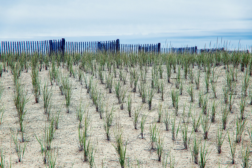 Dune conservation by wind fence and dune grass plantings, Nauset Beach, Orleans, Cape Cod, Massachusetts, USA.