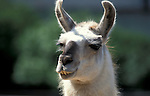 Guanaco, Lama guanicoe, portrait, captive .South America....