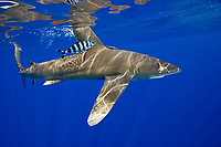 Oceanic Whitetip Shark, Carcharhinus longimanus, with Pilot Fish, Naucrates ductor, breaking the surface with its dorsal fin, off Kona, Big Island, Hawaii, Pacific Ocean