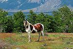 Horses in Patagonia,
