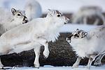 Norway, Svalbard, Svalbard reindeer (Rangifer tarandus platyrhynchus), subadult reindeer playing