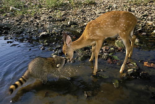 Baby raccoon, Procyon lotor, confronts fawn in lake, Missouri USA