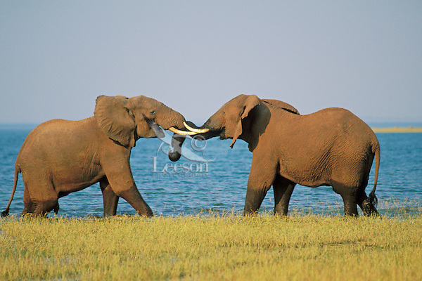 Two African Elephant (Loxodonta africana)  bulls spar (mostly play with some dominance overtones) along the shore of Lake Kariba, Zimbabwe.