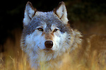 Timber or Grey Wolf ( Canis Lupus ) - Minnesota  USA  .head study , wolf looking through grass, soft colours,.USA....