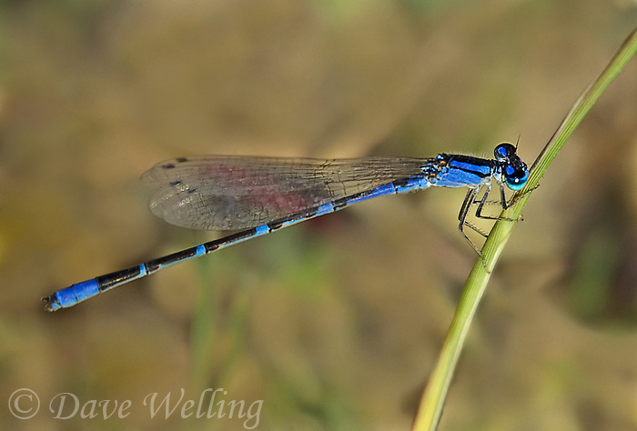 320190007 a wild male arroyo bluet damselfly  enallagma praevarum perches on a small pond in fort huachuca cochise county arizona united states