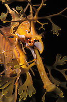 me49. Leafy Sea Dragon (Phycodurus eques). Kangaroo Island, South Australia, Pacific Ocean..Photo Copyright © Brandon Cole. All rights reserved worldwide.  www.brandoncole.com..This photo is NOT free. It is NOT in the public domain. This photo is a Copyrighted Work, registered with the US Copyright Office. .Rights to reproduction of photograph granted only upon payment in full of agreed upon licensing fee. Any use of this photo prior to such payment is an infringement of copyright and punishable by fines up to  $150,000 USD...Brandon Cole.MARINE PHOTOGRAPHY.http://www.brandoncole.com.email: brandoncole@msn.com.4917 N. Boeing Rd..Spokane Valley, WA  99206  USA.tel: 509-535-3489