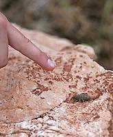 Kind zeigt auf einen Skorpion, Mittelmeerskorpion, Mesobuthus gibbosus, yellow scorpion, Griechenland