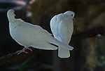 Two domesticated White Doves on a branch