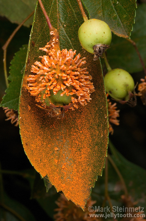 Cedar-Quince Rust (Gymnosporangium calivpes). In this phase of its life cycle, horn-like structures are maturing on the fruit of a Hawthorn (Crataegus) tree, dropping a bright-orange mass of spores, or aeciospores. This is a problematic plant pathogen that parasitizes a variety of trees, and involves a complex life cycle between junipers (most often Eastern Red Cedars), and plants in the Rose family (most often hawthorn, crabapple, and quince trees). The alternating host plants are necessary for survival of this fungus. Dawes Arboretum, Newark, Ohio, USA.