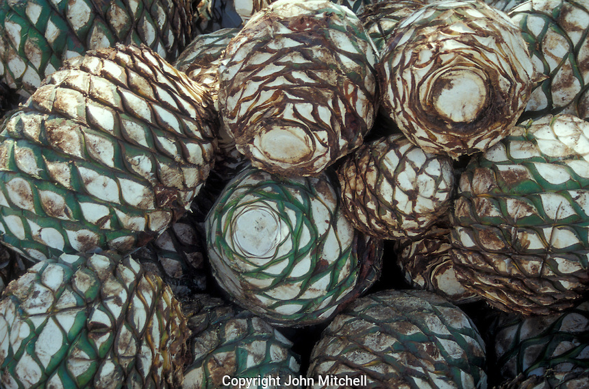 Blue agave cactus hearts used in the production of tequila, Sinaloa, Mexico