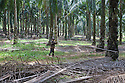 A worker carrying a long harvesting pole through a palm grove. The pole is used to cut down bunches of palm fruit (fresh fruit bunches - FFBs). The Sindora Palm Oil Plantation, owned by Kulim, is green certified by the Roundtable on Sustainable Palm Oil (RSPO) for its environmental, economic, and socially sustainable practices. Johor Bahru, Malaysia