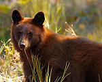 Black Bear, Cinnamon Cub Close Portrait, Elk Creek, Yellowstone National Park, Wyoming
