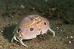 Dumaguete, Dauin, Negros Oriental, Philippines; a pink, spotted box crab moving over the sandy bottom at night