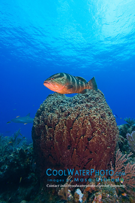 Nassau Grouper, Epinephelus striatus, over Giant Barrel Sponge, Xestospongia muta, West End, Grand Bahamas, Atlantic Ocean