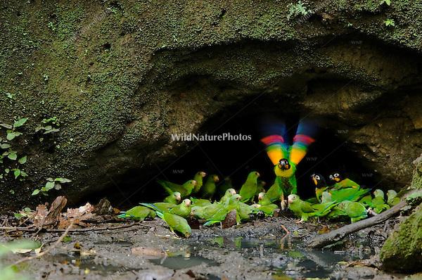 Orange-cheeked Parrots (Pionopsitta barrabandi) taking off in flight froma clay lick in the Amazon; Napo, Equador