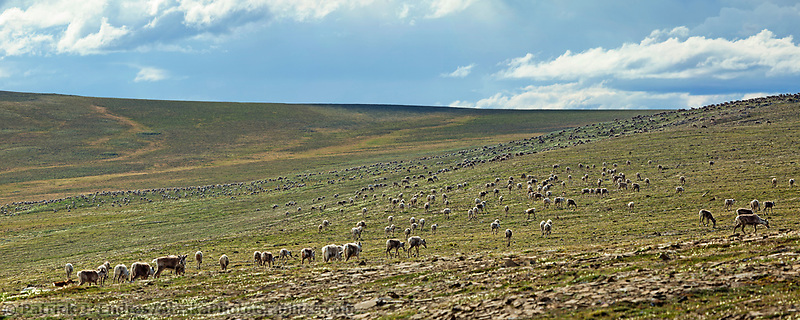 Panorama of the Western Arctic caribou herd, Utukok Uplands, National Petroleum Reserve Alaska, Arctic, Alaska.