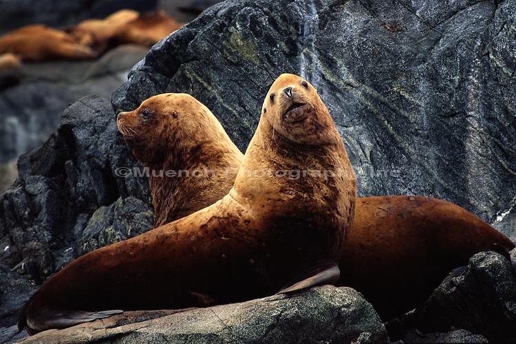 """Steller Sea Lions, Prince Royal Island   BC"""