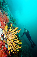 Scuba Diver observing Glove or Finger Sponges ( Neoespeiropsis species) and Pink Soft Coral ( Gersemia rubiformis) in Browning Pass off northern Vancouver Island, British Columbia, Canada.