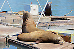 California Sea Lions On Dock