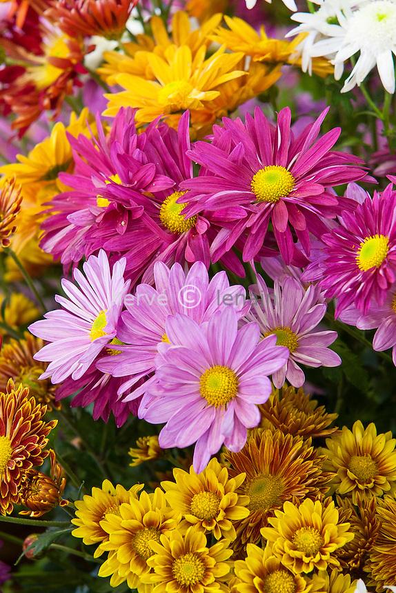 chrysanthèmes, mélange de plusieurs cultivars   (Dendranthema = Chrysanthemum ) // mums, chrysanths, Chrysanthemum