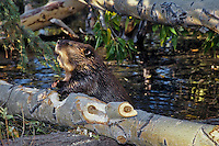 American Beaver (Castor canadensis)  cutting tree into manageable pieces so it can haul them back to lodge area for winter food.