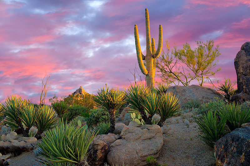 Cactus garden at sunrise. Sonoran Desert, Arizona