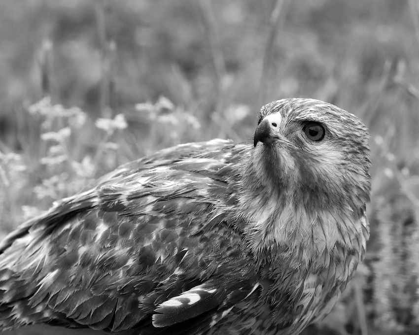 Red-tailed Hawk (Buteo jamaicensis) B&W conversion. The red-tailed hawk is one of the the largest hawks, usually weighing between 2 and 4 pounds.