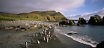 King Penguins and Elephant seals at Green Gorge on Macquarie Island. Australian Sub-Antarctic Islands.