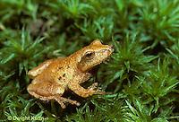 FR16-011z  Spring Peeper Tree Frog -  Pseudacris crucifer, formerly Hyla crucifer