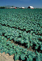 Young Broccoli field with farm buildings and barn - Salinas Valley, California