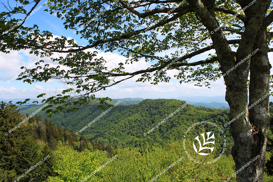 A beautiful tree extends branches in the direction of the smoky mountain hills and valley in spring summer.