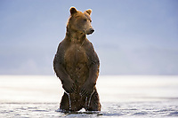 Kodiak grizzly bear (Ursus arctos middendorffi) stands up, Hallo Bay