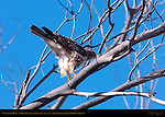 Red-tailed Hawk, Juvenile Light Morph (lightening the load), Bosque del Apache Wildlife Refuge, New Mexico