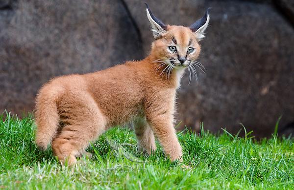 Caracal Kitten (Caracal caracal) | Tom & Pat Leeson