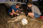 African Lion (Panthera leo) biologists, Milan Vinks, Jonah Gula, Caz Sanguinetti, and veterinarian, Kambwiri Banda, taking measurements during collaring of six year old female lion, Kafue National Park, Zambia