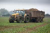 Contractor carting sugar beet<br /> Picture Tim Scrivener 07850 303986<br /> &hellip;.covering agriculture in the UK&hellip;.