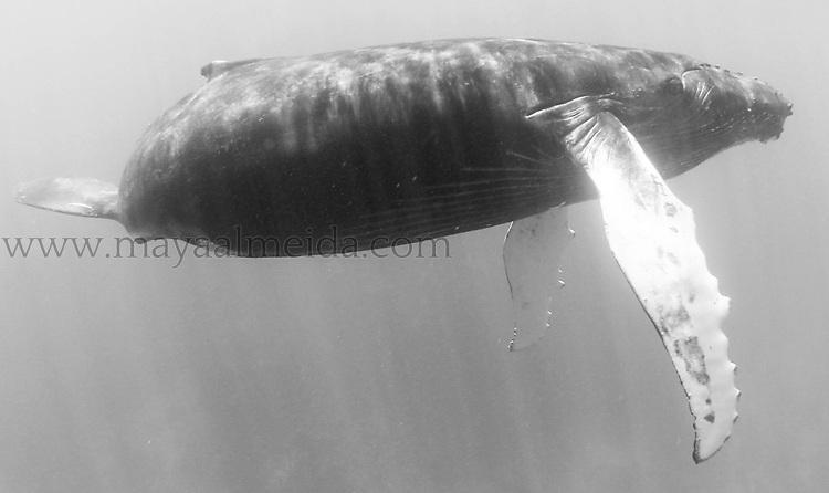 Humpback_Whale_Calf