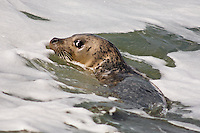 Harbor Seal, Oregon
