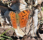Butterfly seen in the Esopus Bend Nature Preserve in Saugerties, NY, on Sunday, April 15, 2017.. Photo by Jim Peppler. Copyright Jim Peppler/2017.