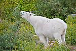 Mountain goat nanny browsing. Glacier National Park, Montana.