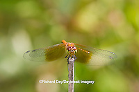 06664-00109 Band-winged Meadowhawk dragonfly (Sympetrum semicinctum) female, DuPage Co.  IL