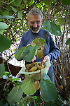 &copy; Joel Goodman - 07973 332324 . 24 August 2013 . Manchester , UK . The stunning summer has brought an astonishing crop of exotic kiwifruit for one gardener - beside a busy main road in Manchester.<br /> <br /> Green-fingered Alain Kahan grew the exotic &quot;Actinidia deliciosa&quot; - or &quot;Fuzzy Kiwifruit&quot; - vine from scratch after buying a punnet of the fruit from a Manchester Asda in 1989 and cultivating the plant in the small garden of the library where he worked.<br /> <br /> &quot;I blended the pulp with water and allowed the seeds to separate before planting them out&quot; says Alain.<br /> <br /> Alain has since retired but, despite having only a small patch of land in which to grow and no greenhouse for protection, the vine has thrived and this year's long, hot summer has delivered a stunning haul of supermarket-sized kiwis, more typically found growing in the warmer climbs of Italy and New Zealand.<br /> <br /> The fruit grows well in areas where there are no frosts to damage the flesh. According to Alain, the long, warm spell was just what was needed. &quot;Last year's early frost turned the fruit to mush but the long summer meant I could wait that bit longer - this year's been perfect for them&quot;.<br /> <br /> Retired Librarian Alain was so surprised at the size of the crop, that he's kept the vine's location a closely-guarded secret. Fortunately fears that the furry fruit would be stolen from the roadside before they ripened have proved unfounded and Alain's now harvesting bowlfuls of the fruit, which he says he'll share with colleagues and friends at the library in Salford, where he still helps out two days a week.<br /> <br /> &quot;They have a better taste than the ones from the Supermarket&quot; insists the sixty-five year old amateur gardener, &quot;it must be something in the Salford soil&quot;.<br /> <br /> The home of the kiwifruit can be traced to southern China, only arriving in New Zealand at the turn of the twentieth century, where the frost-free climate proved well-suited to their growth.<br /> <br /> Urban Salford may not seem the ideal environment for exotic fruit farming but Al