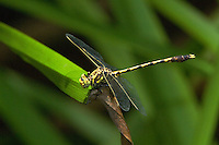 389020001 a wild male common sanddragon progompus obscurus perched on a grass blade in jasper county texas