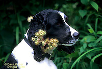 SH24-018z  Burdock - seeds on English Springer dog, seed dispersal - Arctium minus  ©David Kuhn/Dwight Kuhn