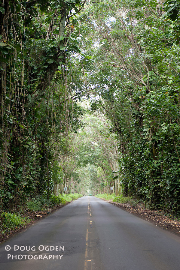 The Tree Tunnel on the road to Po'ipu, Kauai Hawaii