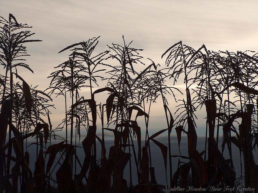 Corn at sunrise, Rochester, Washington.