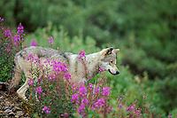 Wild Gray Wolf (Canis lupus) among fireweed blossoms.  Alaska. Summer.