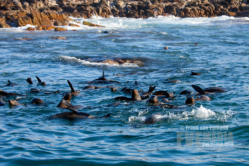 Cape fur seals in the water, Geyser Rock, South Africa.