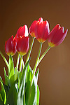 Bouquet of red tulips in sunlight against brown background